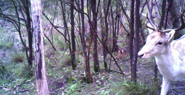 Trail cam image of feral deer